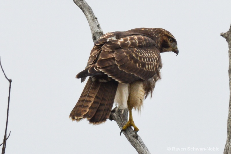 red-tailedhawk 122614