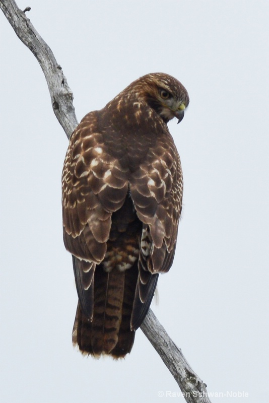 red-tailedhawk122614