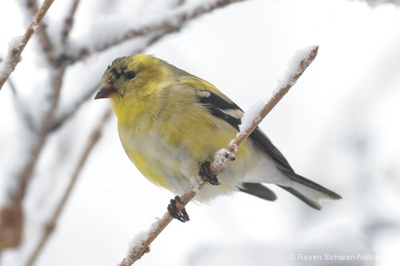 goldfinch040415