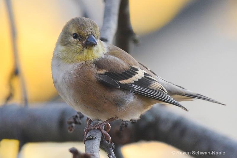 goldfinch040415-2