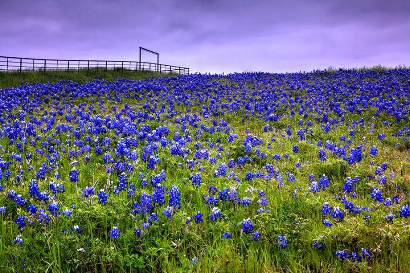 Blue Bonnet Fields...... Forever