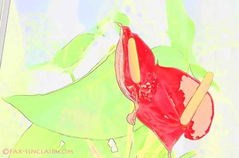 Anthurium Brights