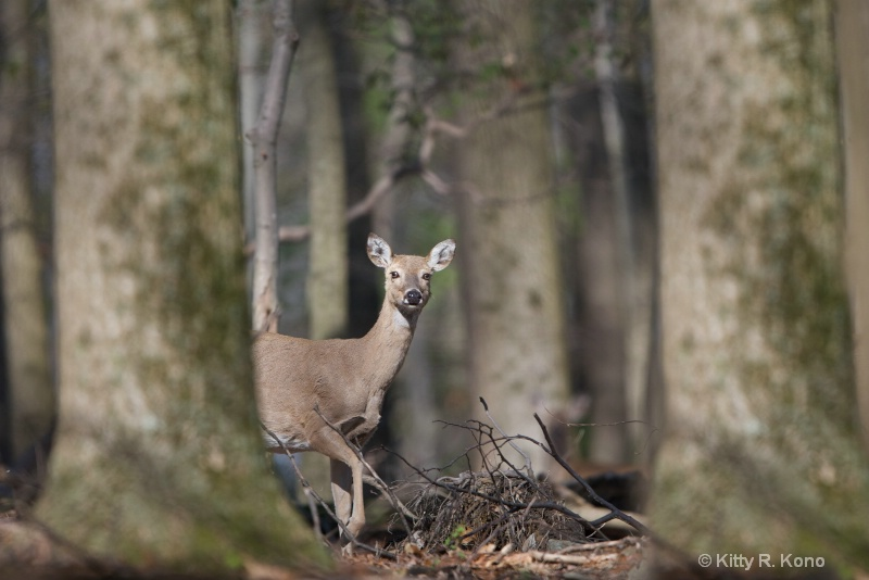 deer in the woods 1604