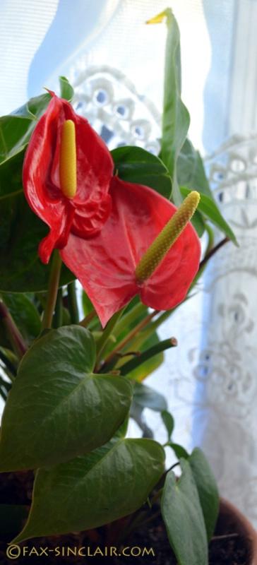 Anthurium in the Window