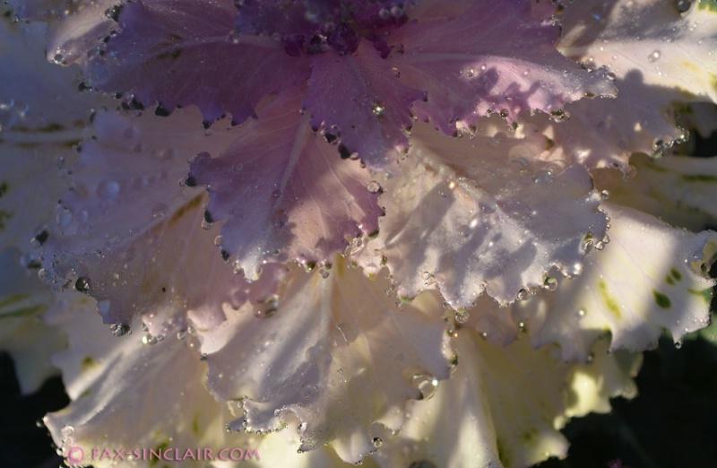Fairy Cabbage Petticoats