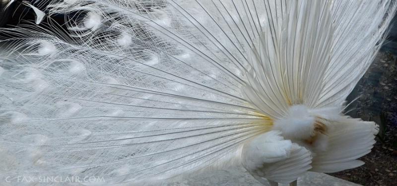Peacock Elements 2