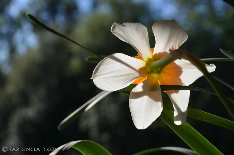 Shadow of the Daffodil
