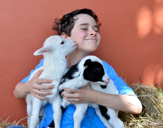 Two Little Lambs and a Boy.
