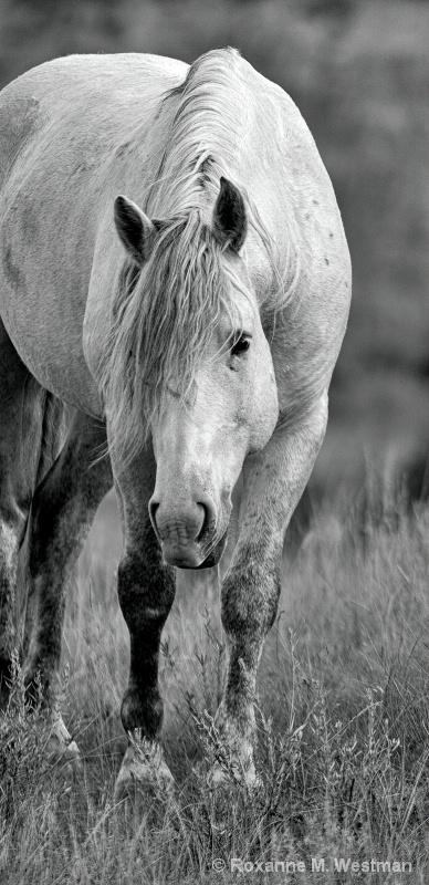 Wild Horse Gray Ghost BW