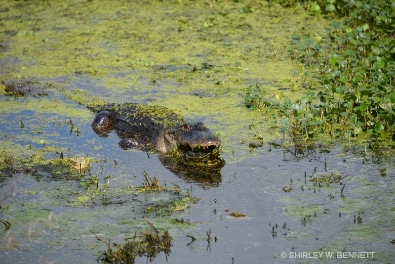 LAST SHOT BEFORE THE GATOR WENT INTO GROWTH IN WAT