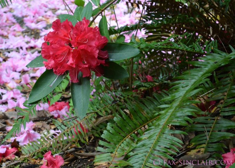 Rhododenon with Ferns
