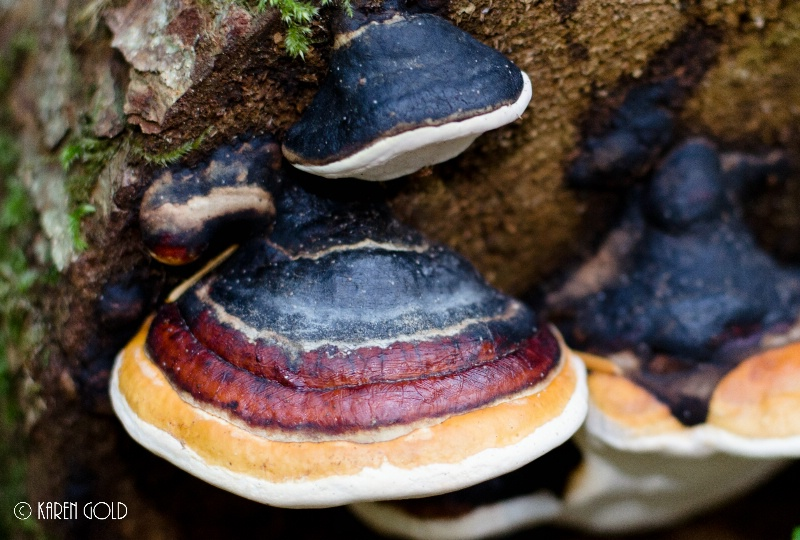 fungi – red-banded polypore