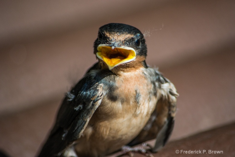 Baby Barn Swallow-2388