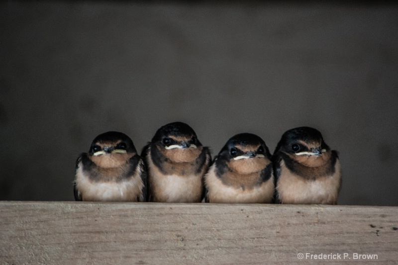 Four baby barn swallows in a row -2404
