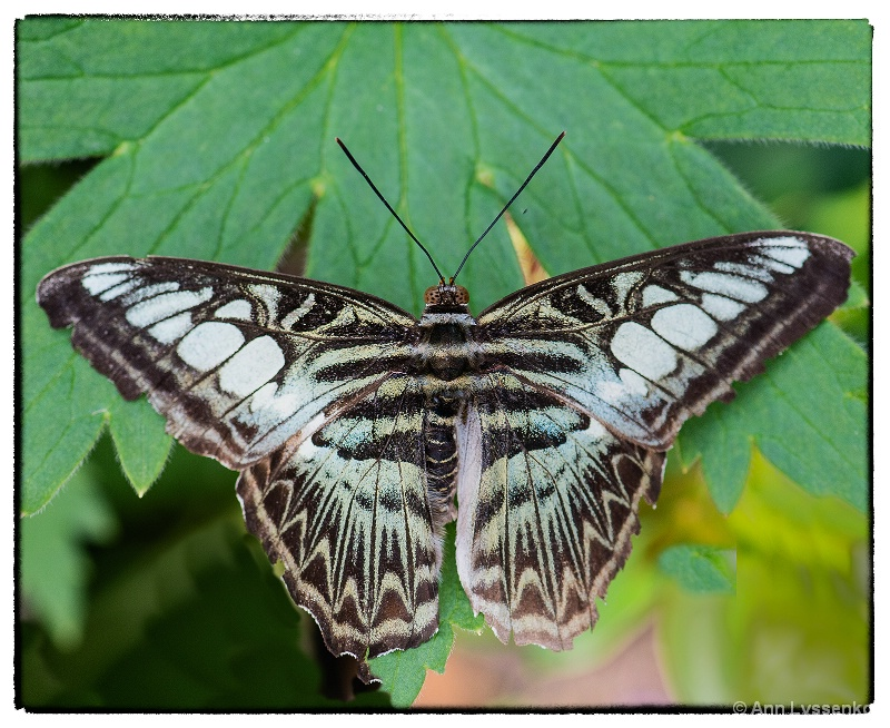 White Barred Charaxes