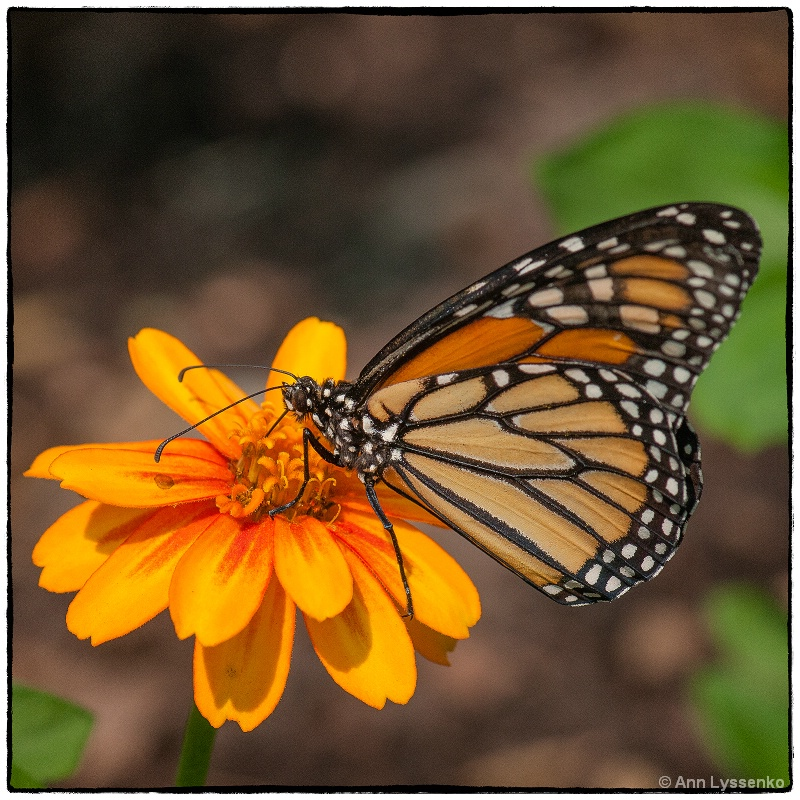 Monarch on Sunshine