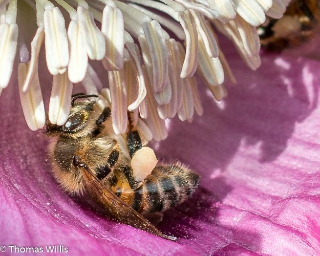 Bee rolling in the  pollen of a poppy