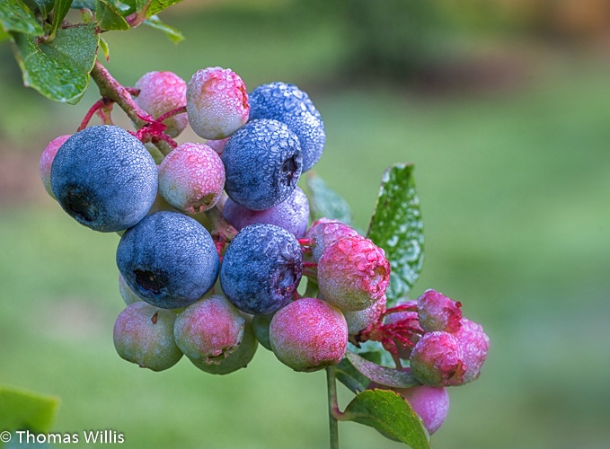 Blueberries at Grimes Blueberry Farm, Lufkin, TX