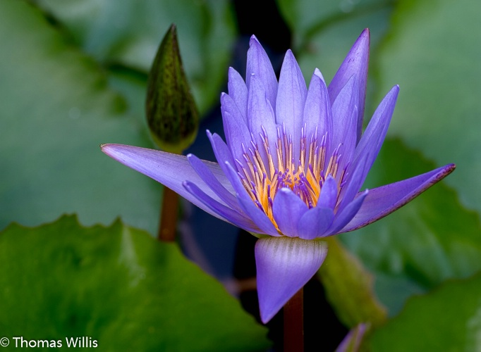Water lily, The Woodlands, TX