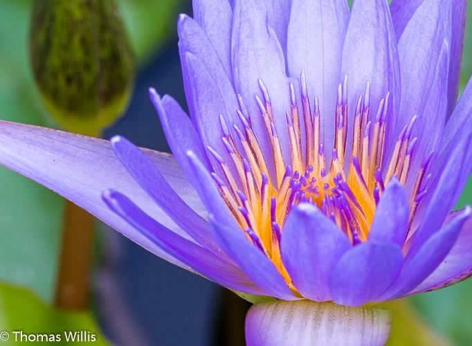 Water lily,close