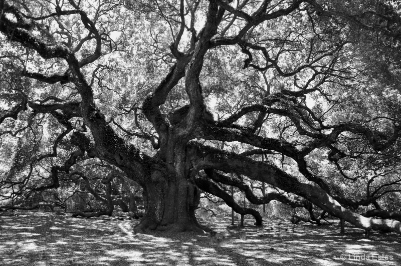 Angel Oak in Shadows