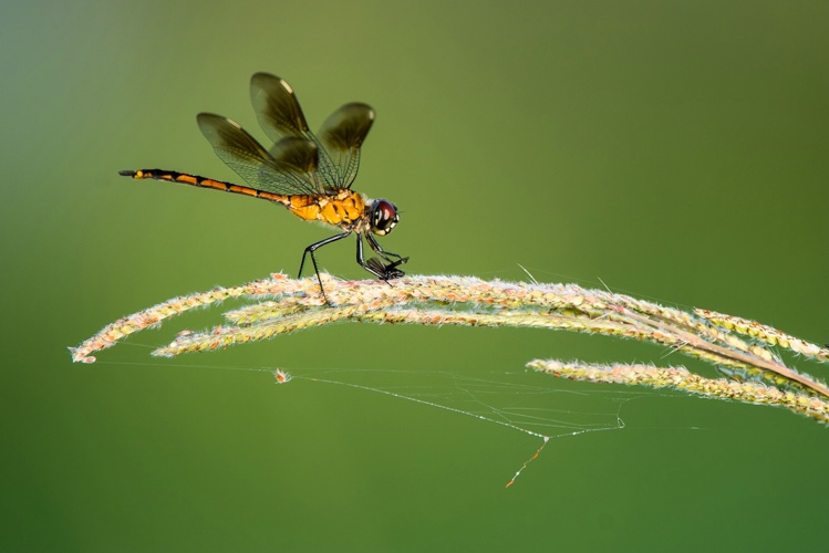 Dragonfly at breakfast