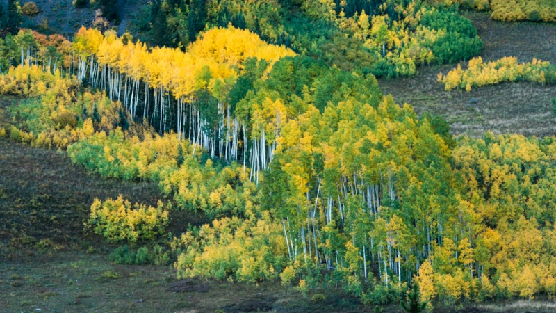 Aspen at the edge of a avalanche zone