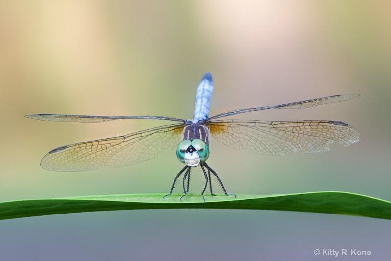 Dashing Blue Dasher Dragonfly