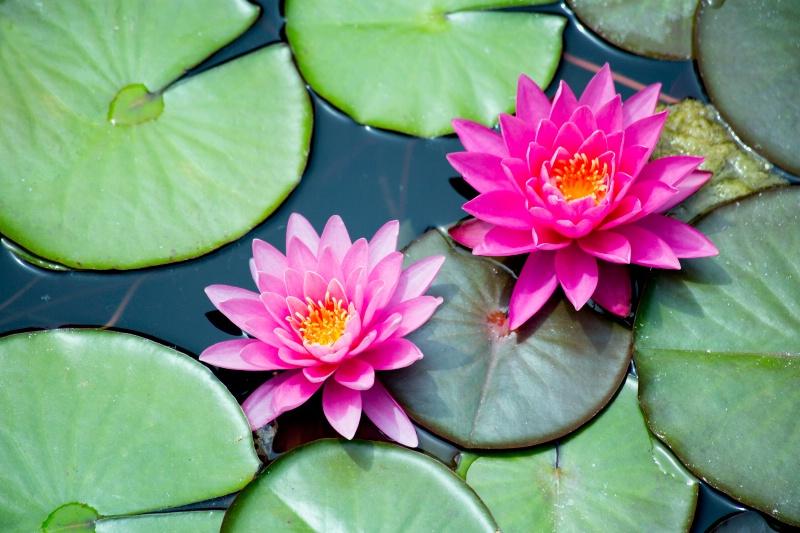 2 Pink Waterlilies