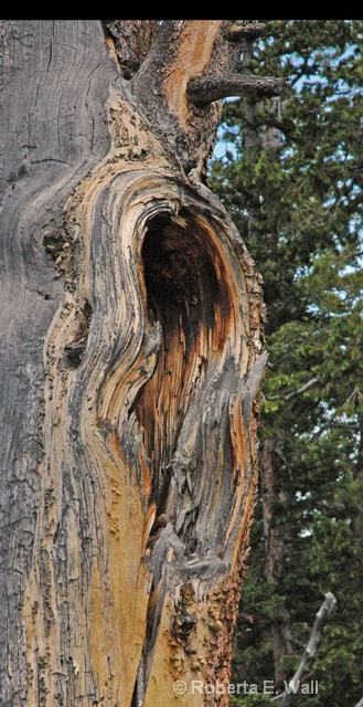 tree in YNP
