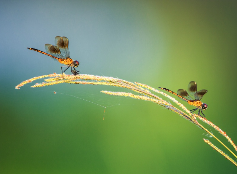 dragonfly meal