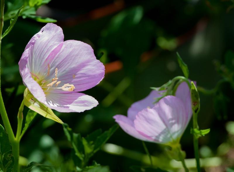wildflower, Arizona