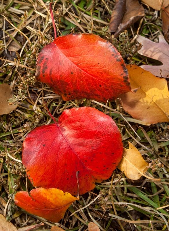 Pear leaves, 2012