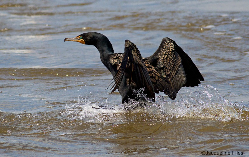 Double-crested Cormorant Landing