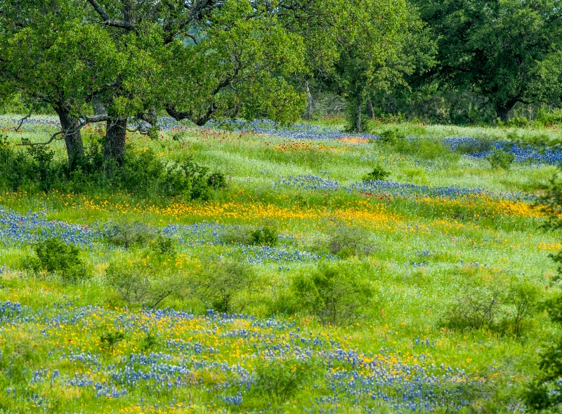 Live Oaks, Bluebonnets and mixed flowers