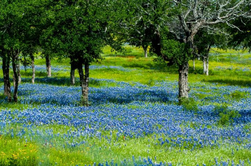 Live Oaks and Bluebonnets