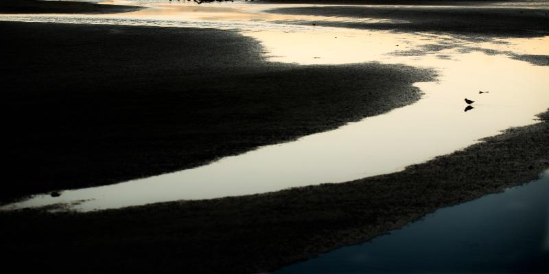 Sand piper, dawn