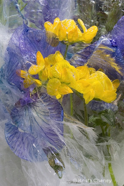 Iris and meadow vetchling in ice