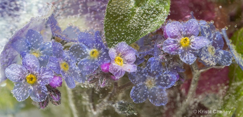 Forget-me-nots in ice