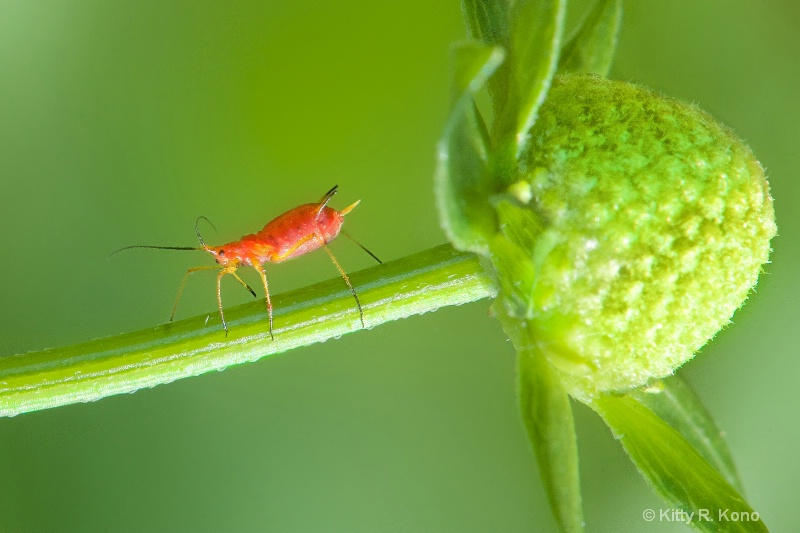 The Aphid and the Bud