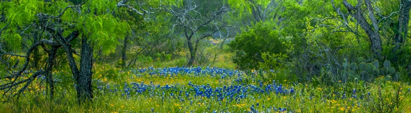 Bluebonnets in the mesquite, Llano, Tx