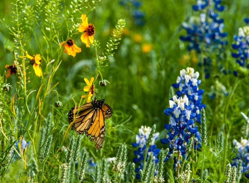 Bluebonnets and a monarch
