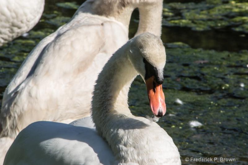 Swan-2478