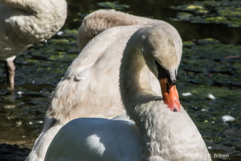 Swans by the Lake-2476