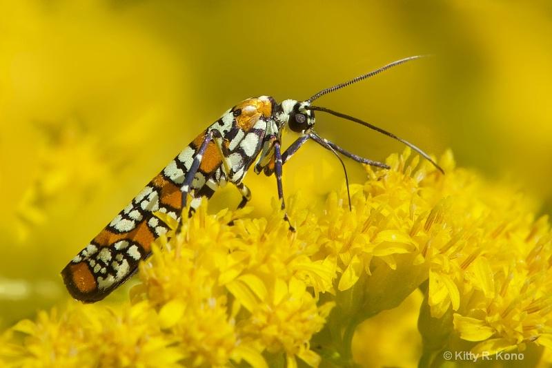 Ailianthus Webworm Moth