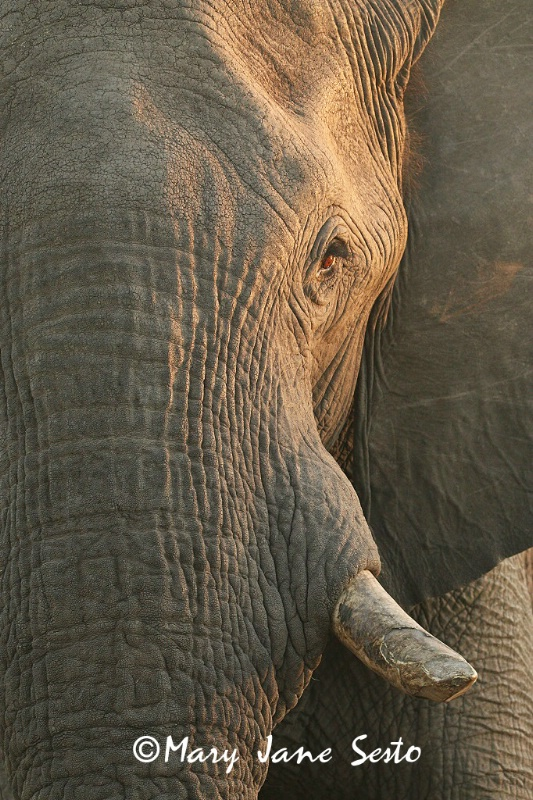 Bull Elephant, South Africa