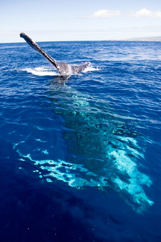Belly Up - Humpback Whale