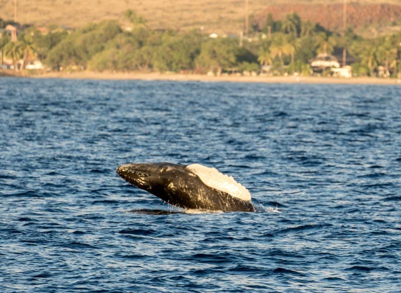 Humpback calf breach