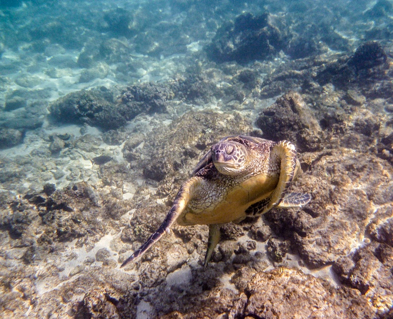 Hawaiian Turtle Underwater