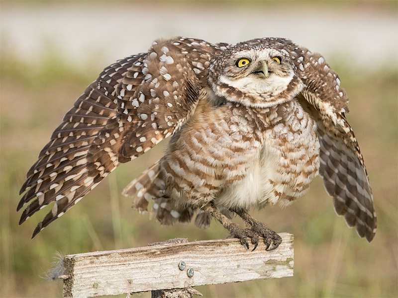 Burrowing Owl Flapping